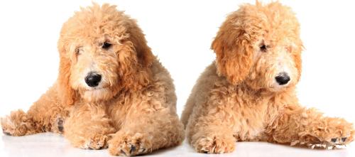 Allergikerhunde Welpen