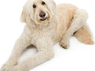 Hund für Allergiker